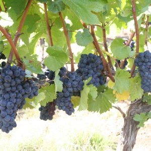 grapes heavy on vines