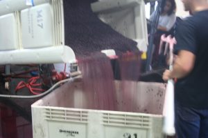 pouring crushed grapes into bins