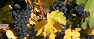 grape clusters on vine